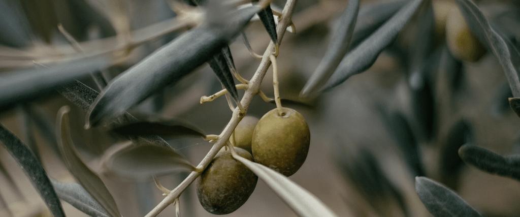 benefici foglie olivo